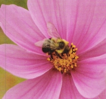 Photo of pink cosmo to illustrate Olbrich Gardens home tour