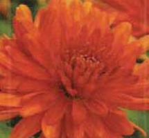 Photo of orange dahlia
