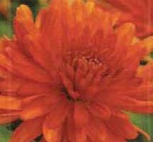 Photo of orange dahlia